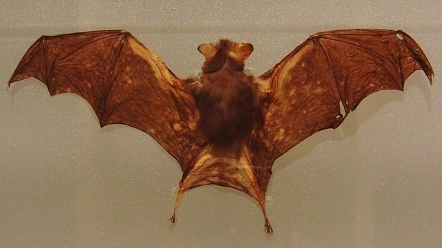 Stuffed specimen of Kitti's hog-nosed bat