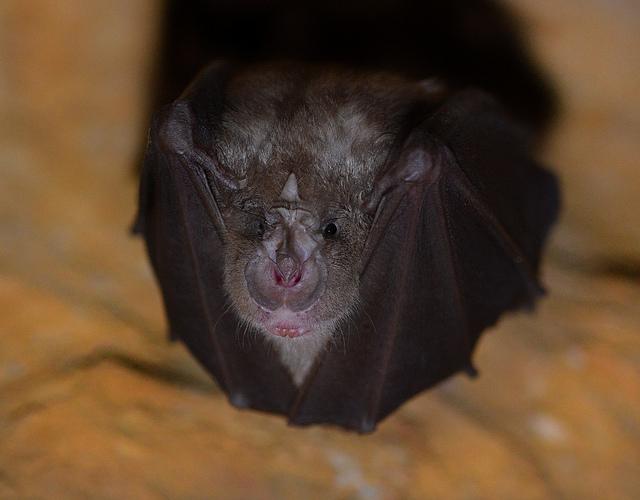 Lesser Horseshoe Bat