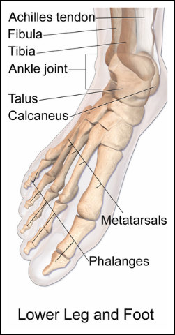 Link 128 25 Of Bones In The Body Are In Your Feet Fun Facts