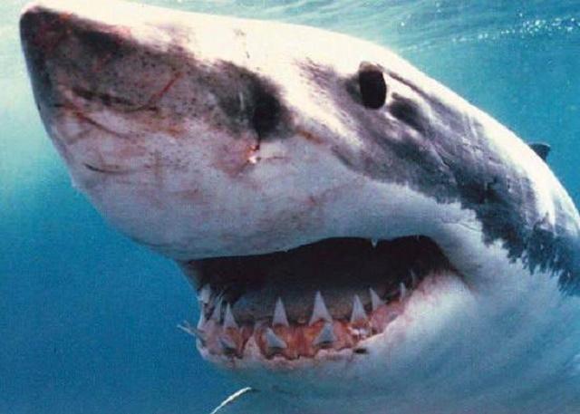 Great White Shark Sense of Smell