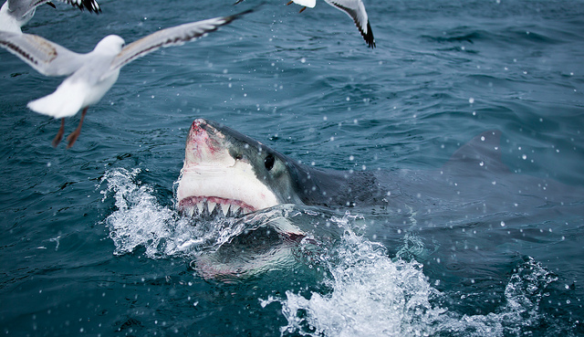 Great_White_Shark_at_surface