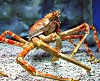 Giant Spidercrab