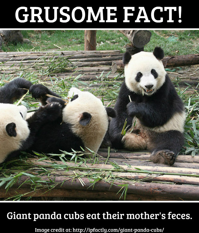 Giant panda cubs eat their mother's feces. | Fun Facts You ...