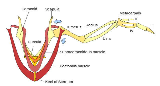 Wing Muscles