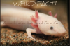 Axolotls retain their larval form for life