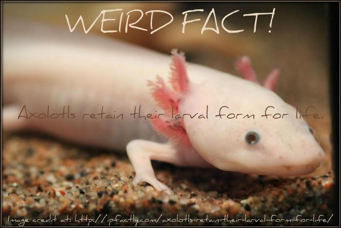 Axolotls retain their larval form for life