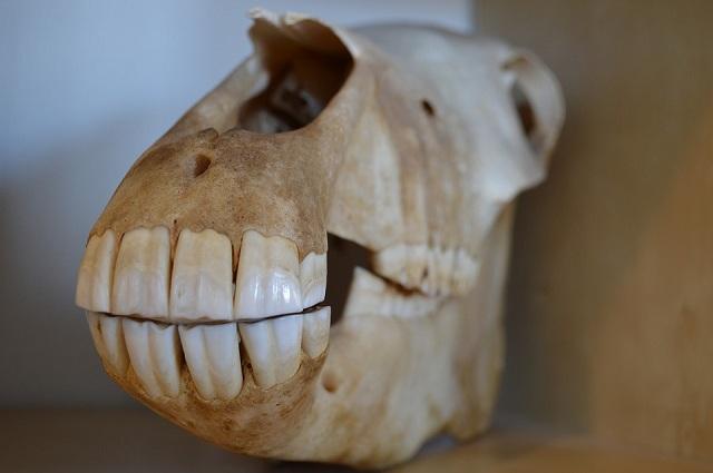 Link 162 Washingtons Dentures Had Real Horse Teeth Always