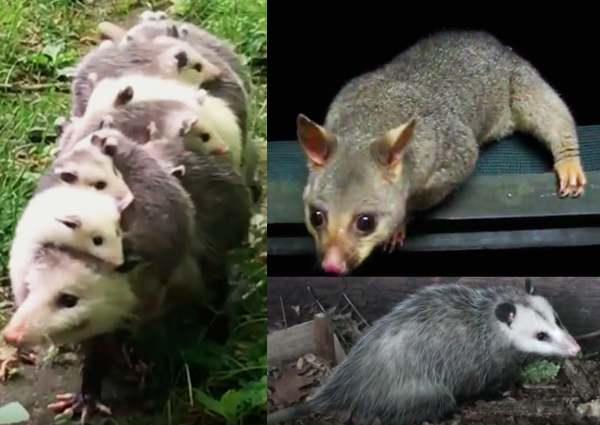 Possum: top right, Opossums: left and bottom right.