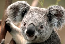Koala by Gildardo urbina licensed under Creative Commons 4