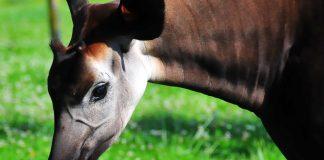 okapi by belgianchocolate cc 4.0