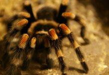 tarantula by lwolfartist cc4