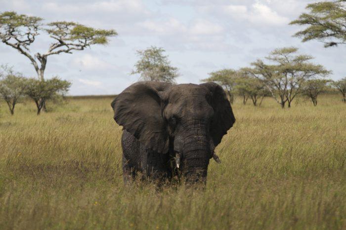 Elephant by Calle v H cc4