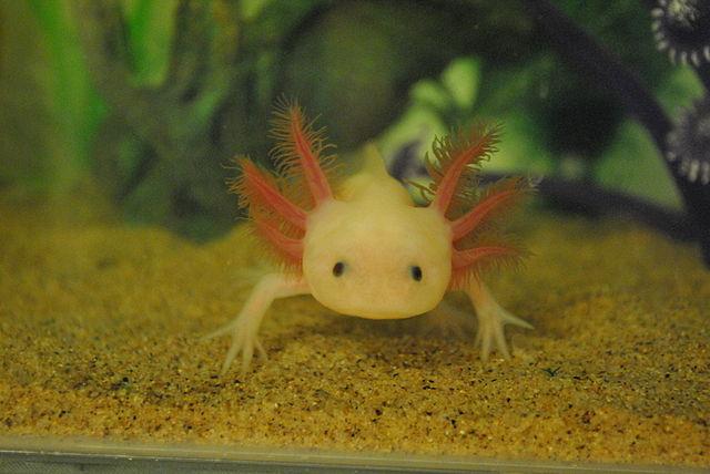 Axolotl Clif