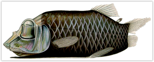 Barreleye fish (Opisthoproctus soleatus)
