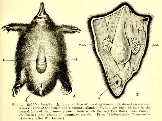echidna_reproductive_organs