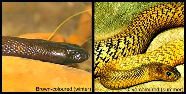 Inland_Taipan_Fierce_Snake_color
