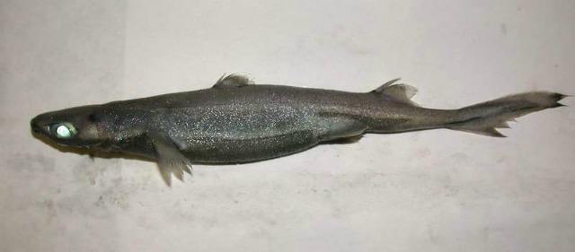 Etmopterus_spinax_Sardinia_lantern_shark
