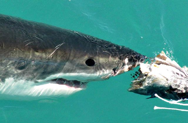 Great_white_shark_diet