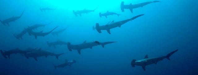 Scalloped_hammerhead_sharks_Sphyrna_lewini_school