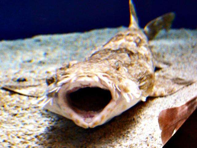 Wobbegong mouth