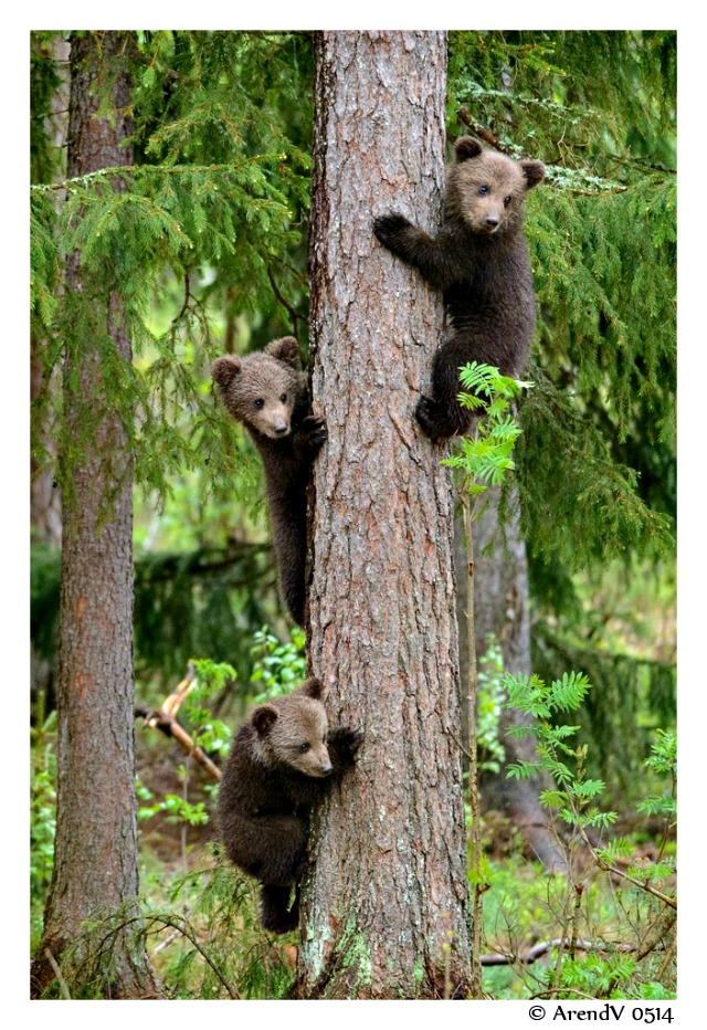 brown bear cubs safe up in the tree
