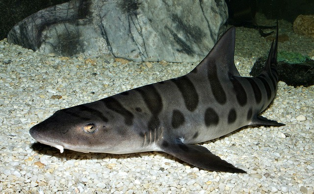 leopard sharks facts  fun facts you need to know  World History
