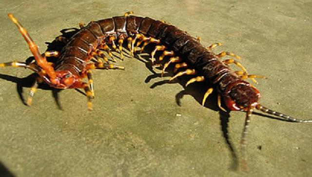 Amazonian giant centipede