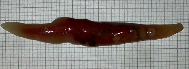 Botulus_microporus