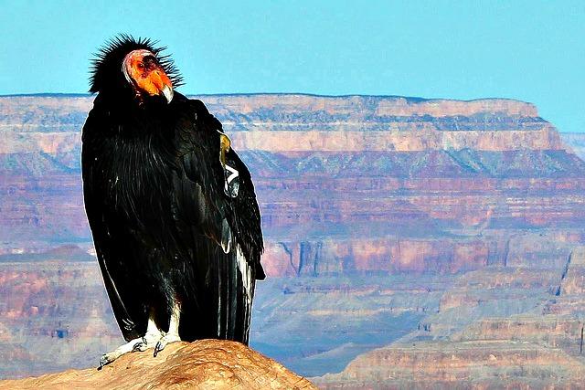 California Condor Grand Canyon
