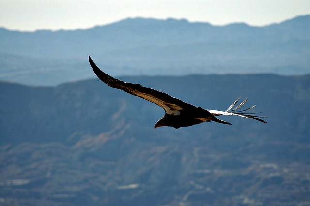 California condor Los Padres National Forest
