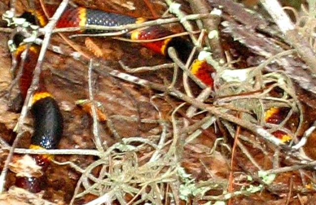 Coral_snake hidding