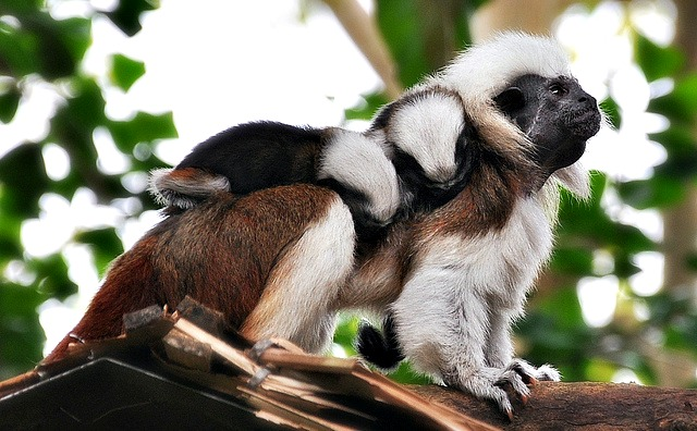 Cotton Top Tamarin And Her Babies