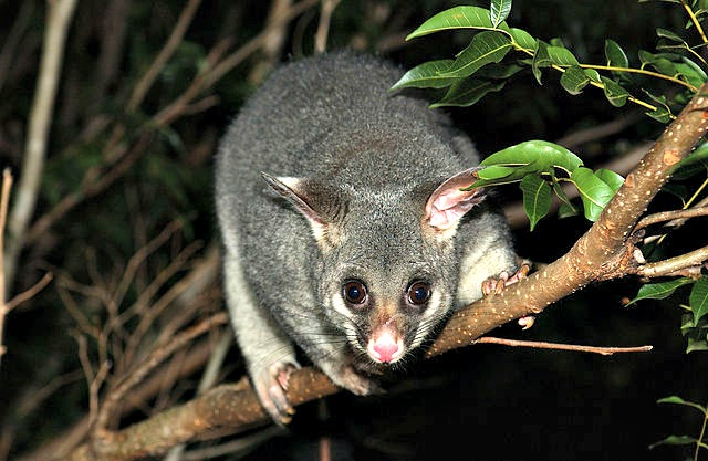 Creating_habitat_for_wildlife_such_as_the_Brushtail_possum