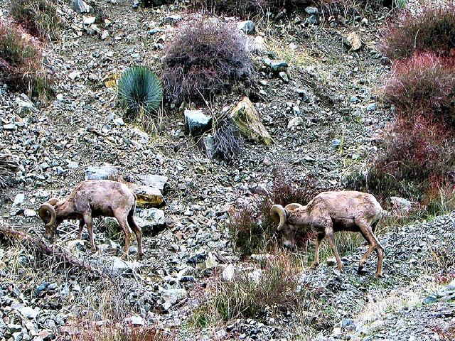 Desert_Bighorn_Sheep_Diet