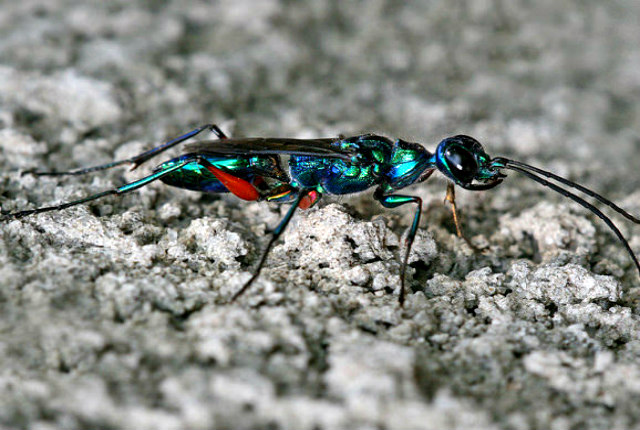 Emerald_Cockroach_Wasp_Ampulex_compressa