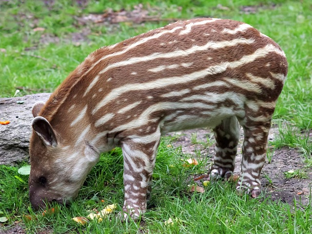 Juvenile_tapir_Jeune_tapir