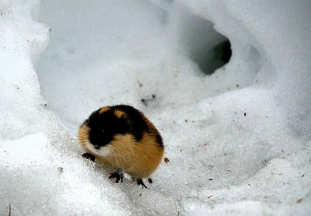 Lemming_winter