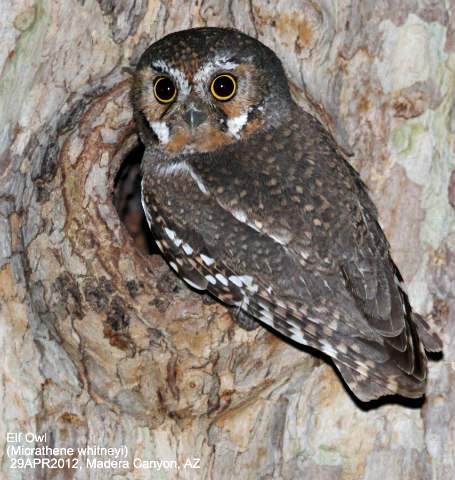 Micrathene_whitneyi_elf_owl