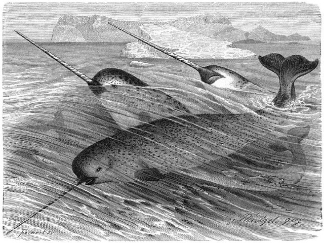 Narwhals_illustration