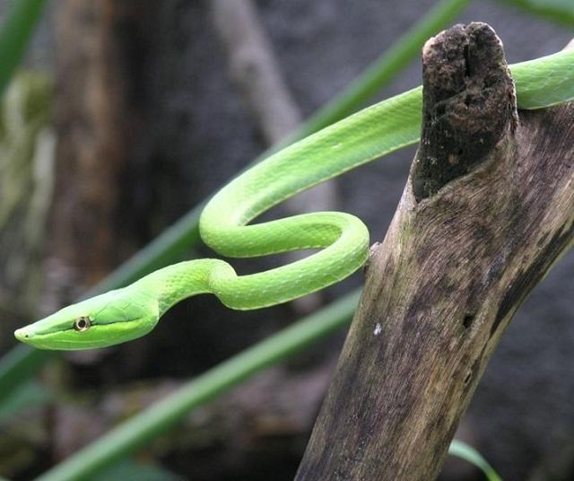 Oxybelis fulgidus in Honduras.