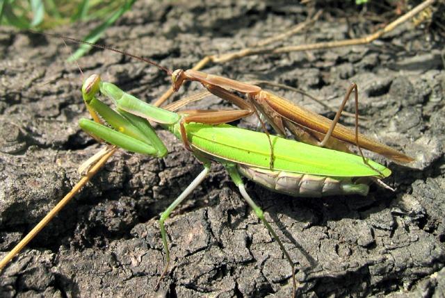 Praying_mantis_mating