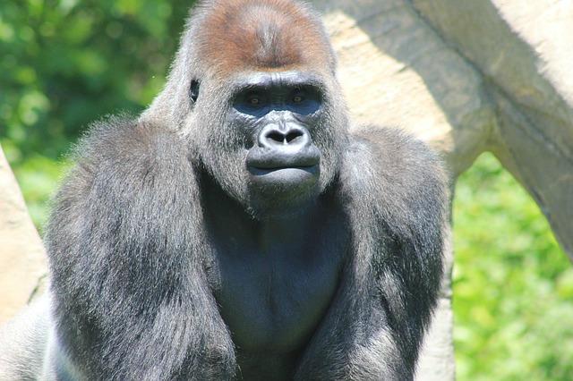 Silver_back_gorilla