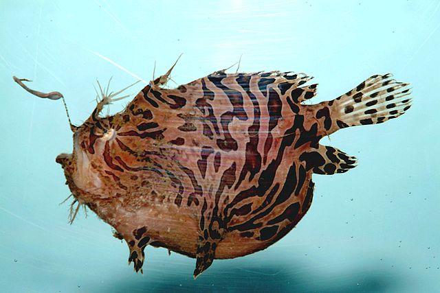 Striped anglerfish ( Antennarius striatus)