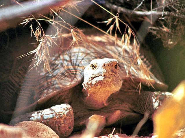Threatened desert tortoise (Gopherus agassizii)