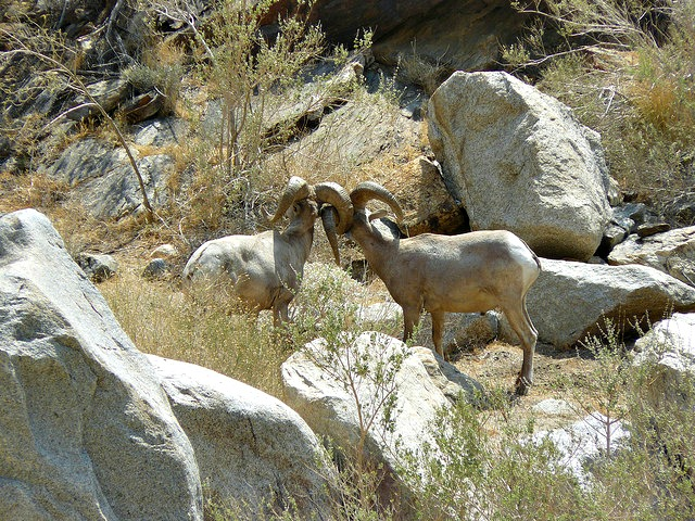 Two rams square off