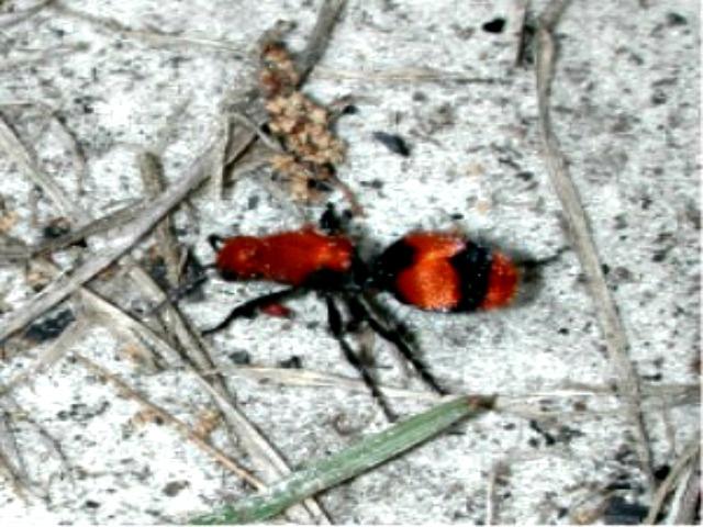 Velvet_ant_female