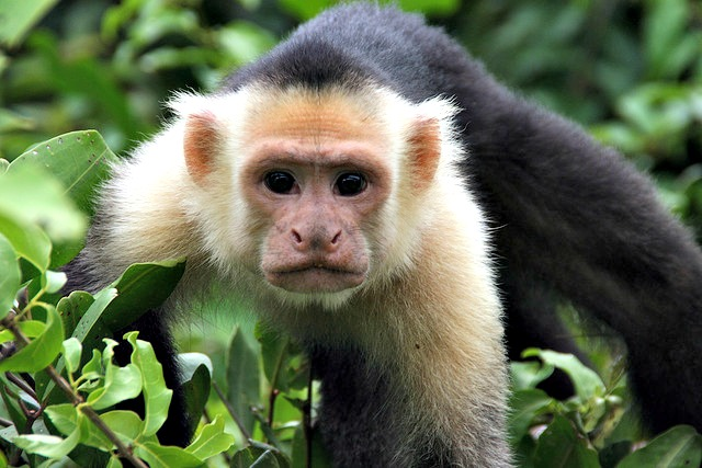 White face monkey at Palo Verde-1