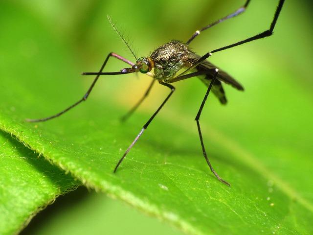 Woodland_Mosquito