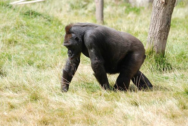 fearful_mountain_gorilla