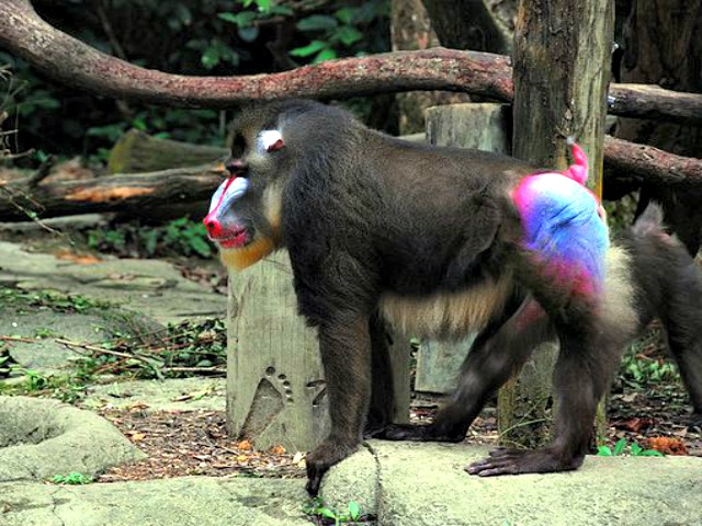 male_mandrill_exotic_coloring